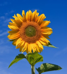 Sunflower_sky_backdrop[1]
